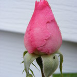 Rose bud raindrops