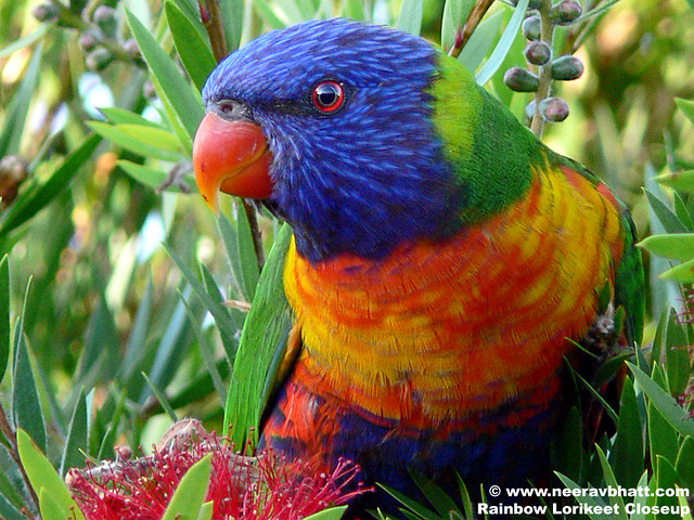 Rainbow Lorikeet Closeup