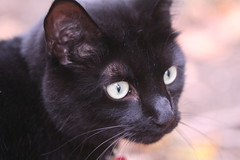 nose, animal, small to medium-sized cats, pet, black cat, bombay, close-up, cat, carnivoran, whiskers, black, nebelung, domestic short-haired cat,
