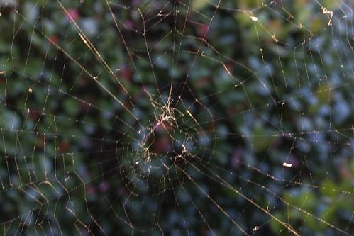 sunset spider web orb weaver ghholt