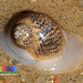 Moon Snails - Photo (c) , all rights reserved