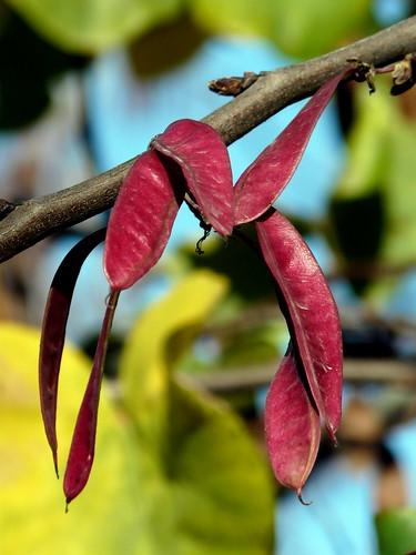Cercis siliquastrum (I) -vainas-