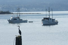 Great Blue Herron and fishing boats