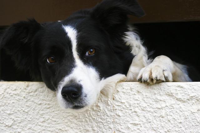 Un chien breton