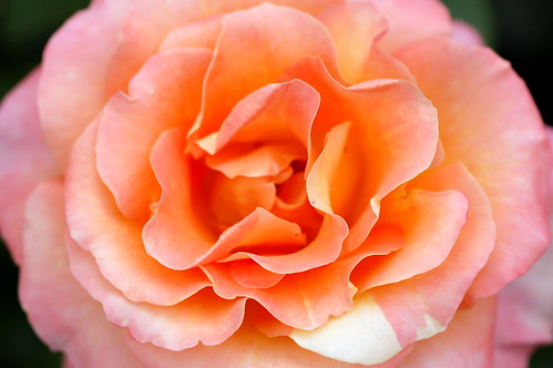 Orange and Pink Color Combination - 15 Photos That Prove ...   Orange And Pink Roses