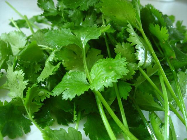 Garden fresh cilantro