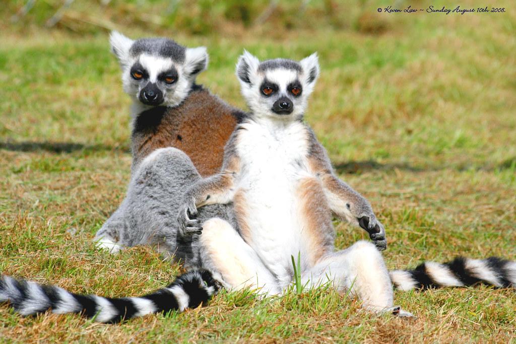 Или кольцехвостый лемур лат lemur catta