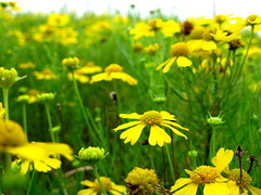 Sneeze Weed Helenium —OakleyOriginals (Flickr.com)