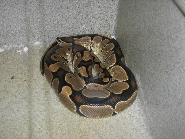 Adult female ball python
