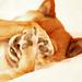 Bashful Kaisa- Shiba Inu by K. Ogden Photography
