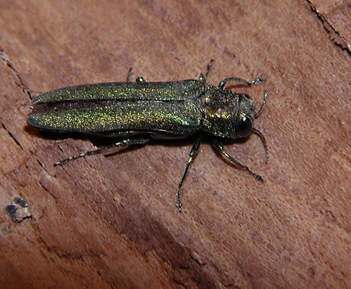 Emerald_Ash_Borer_adult_beetle