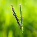 Knotgrass 雙穗雀稗 by olvwu | 莫方