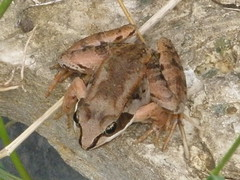 Wood Frog from the Top