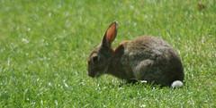 Chertsey Rabbit