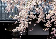 Edo-Higan cherry, Kanki-ji Temple 01