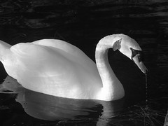 20080415_Spring_Swan