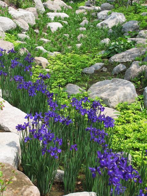 Iris sanguinea / 菖蒲 / 文目(アヤメ)