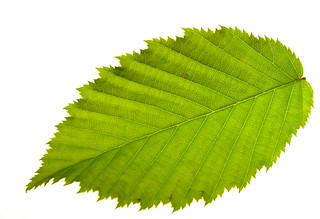 Still life: Fagus sylvatica a leaf