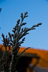 Morning Snow Flakes