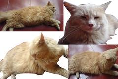 jual kucing angora
