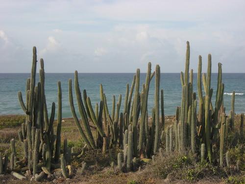 Cacti on the Caribbean