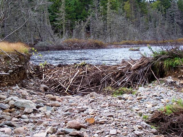 Eager beaver dam construction ducks unlimited pond for Pond dam design