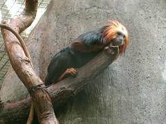chimpanzee(0.0), orangutan(0.0), ape(0.0), animal(1.0), monkey(1.0), zoo(1.0), mammal(1.0), fauna(1.0), new world monkey(1.0),