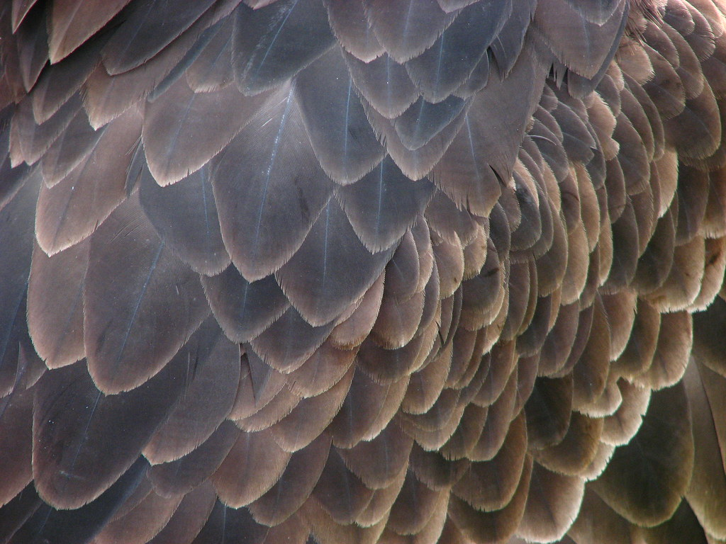Bald eagle feathers - a photo on Flickriver