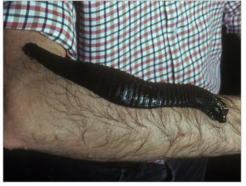 giant amazon leech