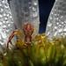 crab spider by myriorama
