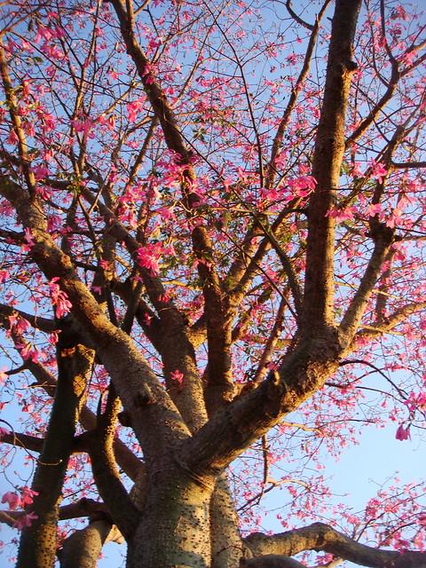Flowering Thorn Tree Flickr Photo Sharing