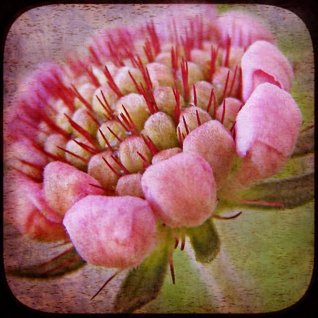 Scabiosa Samantha's Pink