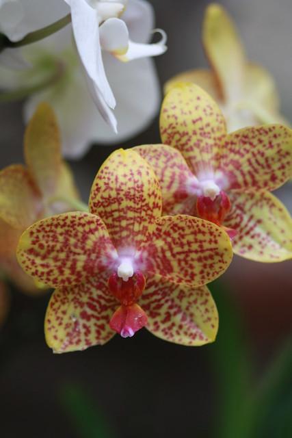 Macro's Lillies