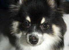 lapponian herder(0.0), japanese spitz(0.0), keeshond(0.0), american eskimo dog(0.0), pomeranian(0.0), icelandic sheepdog(0.0), dog breed(1.0), animal(1.0), puppy(1.0), german spitz klein(1.0), dog(1.0), finnish lapphund(1.0), pet(1.0), volpino italiano(1.0), german spitz(1.0), german spitz mittel(1.0), carnivoran(1.0),