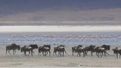 Wildlife around Soda Lake (Lake Magadi)