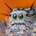 Phidippus - Photo (c) Thomas Shahan, some rights reserved (CC BY)