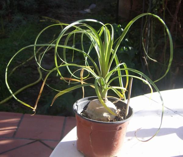 Beaucarnea recurvata 2307029001_09266e7bcd_o