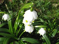 flower, galanthus, plant, flora,