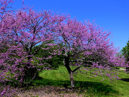 Arboretum Eastern Redbud (Cercis canadensis) by Corbeau du Nord