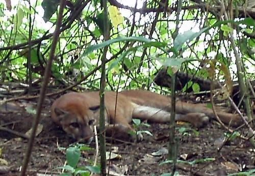 Puma Parque nacional Corcovado