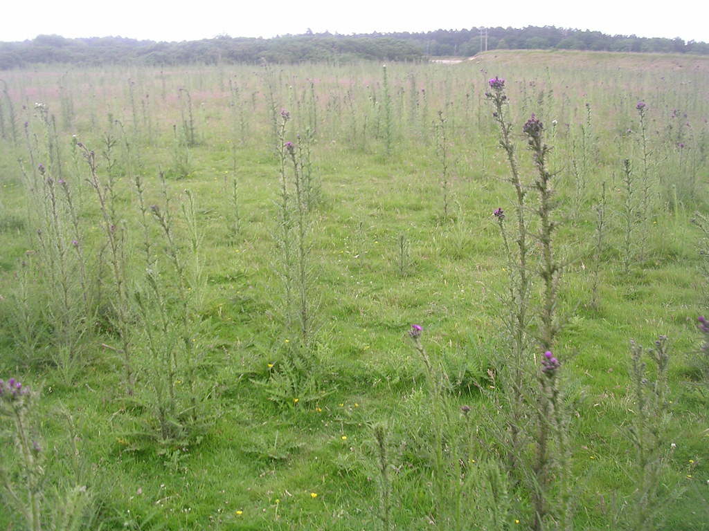 Field full of thistles All straggly and tall with a little pink flower on top. Mortimer to Aldermaston