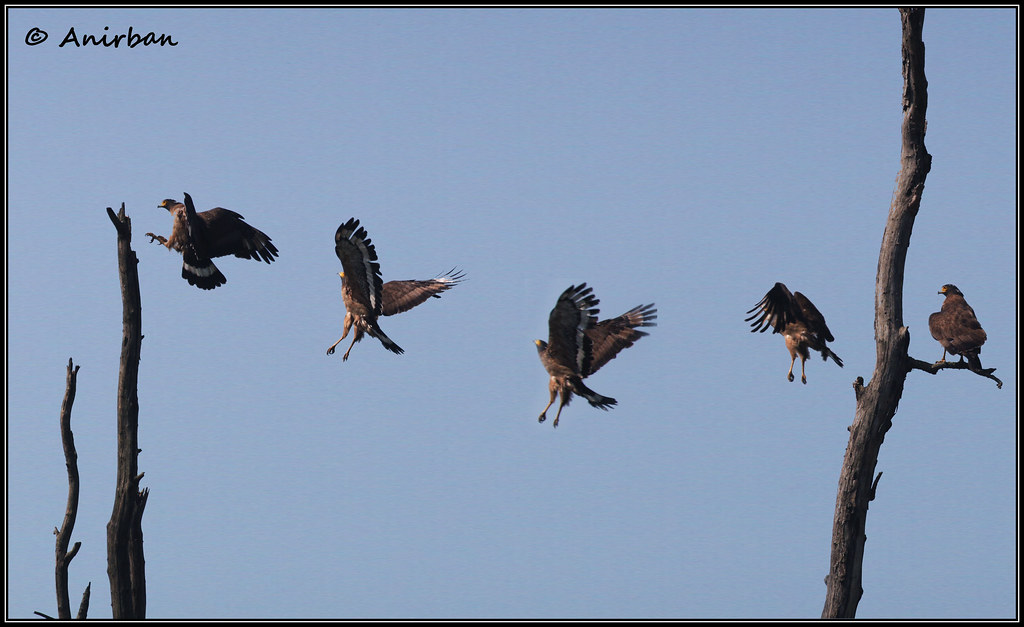 Crested Serpent Eagle Flight Series.