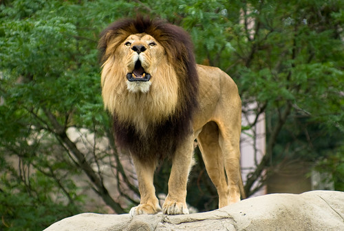 Amazing Facts Lions
