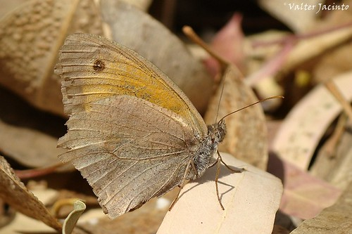 Loba // Meadow Brown (Maniola jurtina)