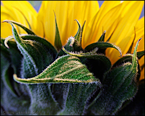 sunflower_macro_Sep08