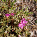 alpine azalea, Summit Peak trail by lmainjohnson7