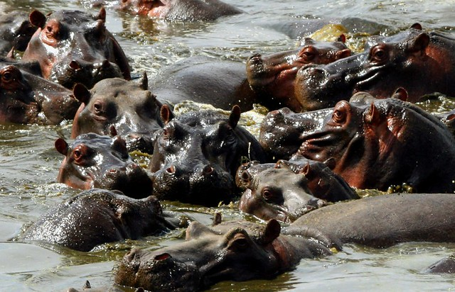 Hippo party - you're all invited