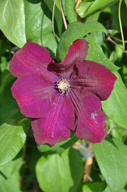 clematis rouge cardinal flickr photo sharing. Black Bedroom Furniture Sets. Home Design Ideas
