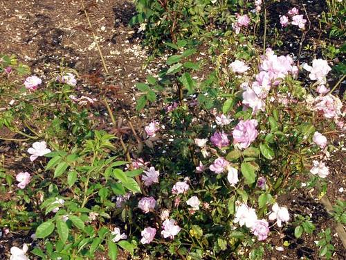 Rosa_camellia_rose2