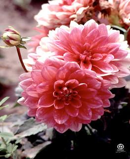 Image de El Carambolo. dahlia flores flower plantas ecología jardín jardínbotánico medioambiente arboreto carambolo emasesa emasesametropolitana arboretodelcarambolo